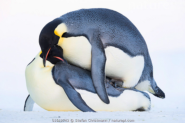 Emperor penguin (Aptenodytes forsteri), pair mating. Atka Bay, Antarctica. May., Animal,Wildlife,Vertebrate,Bird,Birds,Penguin,Emperor penguin,Animalia,Animal,Wildlife,Vertebrate,Aves,Bird,Birds,Sphenisciformes,Penguin,Seabird,Spheniscidae,Aptenodytes,Aptenodytes forsteri,Emperor penguin,Two,Antarctica,Antarctic,Polar,Side View,Winter,Animal Behaviour,Reproduction,Mating Behaviour,Copulation,Male female pair,Behaviour,Breeding,Behavioural,Queen Maud Land,Atka Bay,Flightless, Stefan Christmann