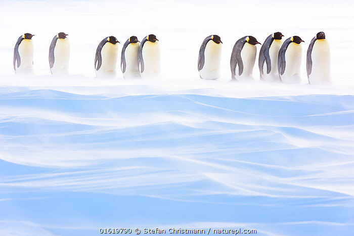 Emperor penguin (Aptenodytes forsteri) group of brooding males amongst drifting snow. Atka Bay, Antarctica. August.  ,  Animal,Wildlife,Vertebrate,Bird,Birds,Penguin,Emperor penguin,Animalia,Animal,Wildlife,Vertebrate,Aves,Bird,Birds,Sphenisciformes,Penguin,Seabird,Spheniscidae,Aptenodytes,Aptenodytes forsteri,Emperor penguin,Walking,Row,Group Of Animals,Group,Antarctica,Antarctic,Polar,Ice,Snow,Winter,Animal Behaviour,Brooding,Parental behaviour,Behaviour,Parental,Paternal Behaviour,Moving,In Line,Behavioural,Movement,Queen Maud Land,Atka Bay,Flightless,catalogue12  ,  Stefan Christmann