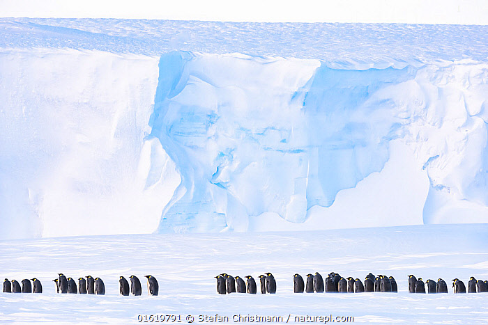Emperor penguin (Aptenodytes forsteri) breeding colony on sea ice, ice shelf in background. Atka Bay, Antarctica. August., Animal,Wildlife,Vertebrate,Bird,Birds,Penguin,Emperor penguin,Animalia,Animal,Wildlife,Vertebrate,Aves,Bird,Birds,Sphenisciformes,Penguin,Seabird,Spheniscidae,Aptenodytes,Aptenodytes forsteri,Emperor penguin,Row,Group Of Animals,Animal Colony,Group,Antarctica,Antarctic,Polar,Ice,Snow,Winter,Ice Shelf,In Line,Sea ice,Queen Maud Land,Atka Bay,Flightless,catalogue12, Stefan Christmann