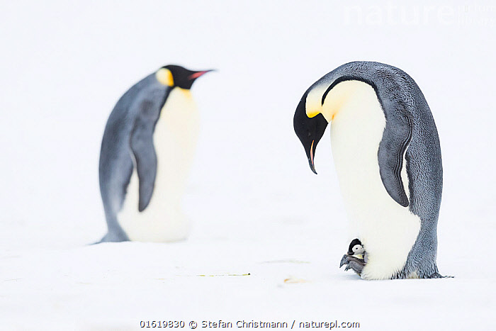 Emperor penguin (Aptenodytes forsteri) brooding young chick on feet, brooding adult in background. Atka Bay, Antarctica. August.  ,  Animal,Wildlife,Vertebrate,Bird,Birds,Penguin,Emperor penguin,Animalia,Animal,Wildlife,Vertebrate,Aves,Bird,Birds,Sphenisciformes,Penguin,Seabird,Spheniscidae,Aptenodytes,Aptenodytes forsteri,Emperor penguin,Few,Three,Group,Antarctica,Antarctic,Polar,Side View,Young Animal,Baby,Chick,Male Animal,Ice,Snow,Winter,Animal Behaviour,Brooding,Parental behaviour,Family,Behaviour,Parental,Parent baby,Three Animals,Behavioural,Queen Maud Land,Atka Bay,Flightless,catalogue12  ,  Stefan Christmann