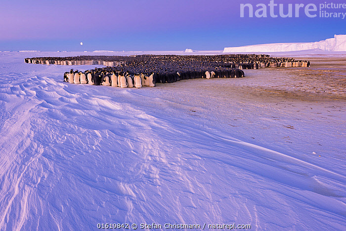 Emperor penguin (Aptenodytes forsteri) colony huddling, males incubating eggs, on sea ice under full moon in polar night. Atka Bay, Antarctica. July 2017.  ,  Animal,Wildlife,Vertebrate,Bird,Birds,Penguin,Emperor penguin,Animalia,Animal,Wildlife,Vertebrate,Aves,Bird,Birds,Sphenisciformes,Penguin,Seabird,Spheniscidae,Aptenodytes,Aptenodytes forsteri,Emperor penguin,Huddling,Huddle,Huddled,Huddles,Group Of Animals,Animal Colony,Group,Large Group,Antarctica,Antarctic,Polar,Faeces,Guano,Ice,Snow,Landscape,Winter,Night,Animal Behaviour,Parental behaviour,Behaviour,Parental,Paternal Behaviour,Breeding,Sea ice,Behavioural,Scat,Queen Maud Land,Atka Bay,Polar night,Flightless,catalogue12  ,  Stefan Christmann