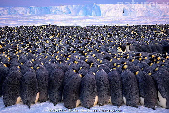 Emperor penguin (Aptenodytes forsteri) breeding colony, males huddling on sea ice during polar night, incubating eggs, ice shelf in background. Atka Bay, Antarctica. July 2017., Animal,Wildlife,Vertebrate,Bird,Birds,Penguin,Emperor penguin,Animalia,Animal,Wildlife,Vertebrate,Aves,Bird,Birds,Sphenisciformes,Penguin,Seabird,Spheniscidae,Aptenodytes,Aptenodytes forsteri,Emperor penguin,Group Of Animals,Animal Colony,Group,Large Group,Antarctica,Antarctic,Polar,Male Animal,Ice,Winter,Animal Behaviour,Parental behaviour,Behaviour,Parental,Paternal Behaviour,Ice Shelf,Sea ice,Behavioural,Queen Maud Land,Atka Bay,Flightless, Stefan Christmann