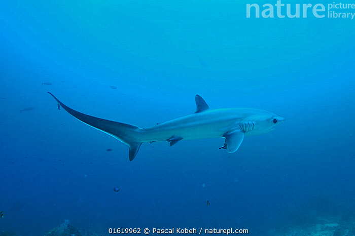 Pelagic thresher shark (Alopias pelagicus) on the reef with its long tail being cleaned by a cleanerfish, Sulu Sea, Philippines.  ,  Animal,Wildlife,Vertebrate,Cartilaginous fish,Mackeral shark,Thresher sharks,Pelagic Thresher,Animalia,Animal,Wildlife,Vertebrate,Chondrichthyes,Cartilaginous fish,Jawed fish,Lamniformes,Mackeral shark,Elasmobranchii,Elasmobranches,Alopiidae,Thresher sharks,Alopias,Alopias pelagicus,Pelagic Thresher,Thresher Shark,Whiptail Shark,Asia,South East Asia,Republic of the Philippines,Copy Space,Profile,Side View,Tropical,Ocean,Marine,Underwater,Water,Indo Pacific,Saltwater,Sea,Biodiversity hotspots,Biodiversity hotspot,Philippines,Shark,Negative space,Sulu Sea,Endangered species,threatened,Vulnerable,Marine  ,  Pascal Kobeh