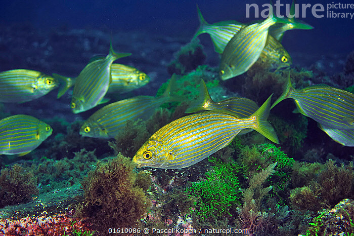 School of Cow breams (Sarpa salpa ) grazing algae and seagrass, Azores, Atlantic Ocean.  ,  Animal,Wildlife,Vertebrate,Ray-finned fish,Percomorphi,Sea bream,Salema porgy,Animalia,Animal,Wildlife,Vertebrate,Actinopterygii,Ray-finned fish,Osteichthyes,Bony fish,Fish,Perciformes,Percomorphi,Acanthopteri,Sparidae,Sea bream,Porgy,Sarpa,Sarpa salpa,Salema porgy,Saupe,Box salpa,Eusalpa salpa,Boops salpa,Group Of Animals,School,Group,Tropical,Ocean,Atlantic Ocean,Marine,Underwater,Water,Atlantic Islands,Azores,Saltwater,Marine  ,  Pascal Kobeh
