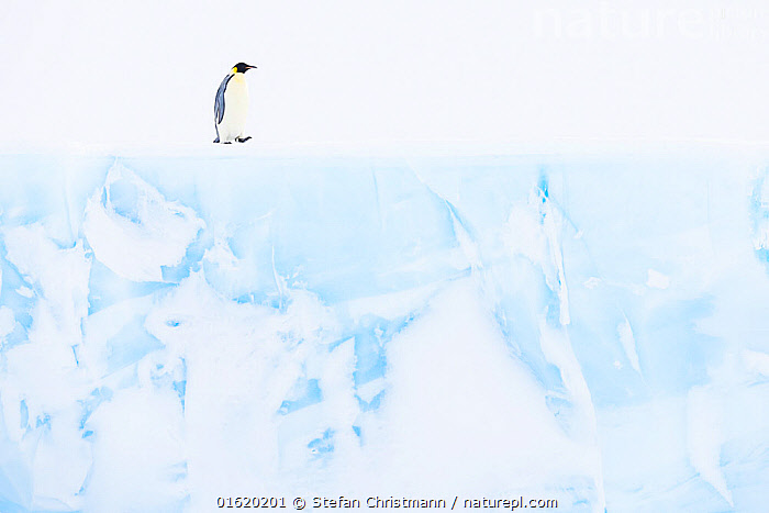 Emperor penguin (Aptenodytes forsteri) Atka Bay, Queen Maud Land, Antarctica. October., Animal,Wildlife,Vertebrate,Bird,Birds,Penguin,Emperor penguin,Animalia,Animal,Wildlife,Vertebrate,Aves,Bird,Birds,Sphenisciformes,Penguin,Seabird,Spheniscidae,Aptenodytes,Aptenodytes forsteri,Emperor penguin,Alone,Solitude,Solitary,Antarctica,Antarctic,Polar,Profile,Side View,Ice,Glacier,Flightless, Stefan Christmann
