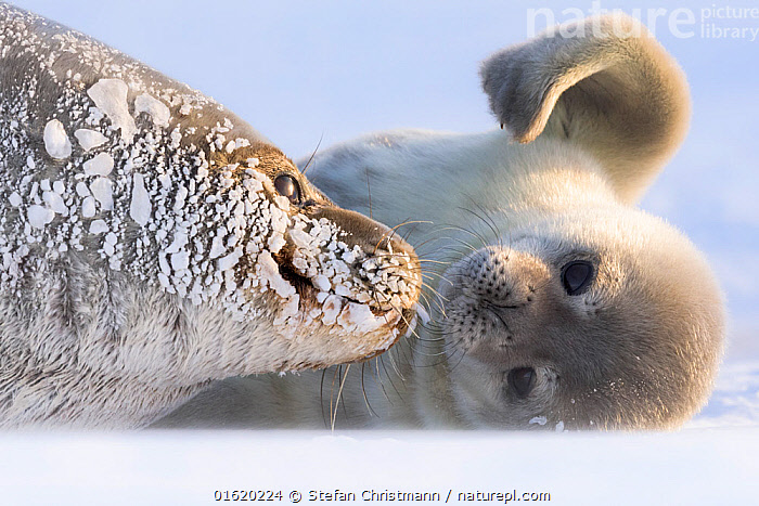 Weddell seal (Leptonychotes weddellii) female hauled out with pup, Atka Bay, Queen Maud Land, Antarctica. October., Animal,Wildlife,Vertebrate,Mammal,Carnivore,True seal,Weddell seal,Animalia,Animal,Wildlife,Vertebrate,Mammalia,Mammal,Carnivora,Carnivore,Phocidae,True seal,Pinnipeds,pinnipedia,Leptonychotes,Leptonychotes weddellii,Weddell seal,Otaria weddellii,Leptonychotes leopardinus,Leptonychotes leptonyx,Antarctica,Antarctic,Polar,Young Animal,Baby,Baby Mammal,Pup,Pups,Female animal,Family,Mother baby,Mother,Parent baby,Marine, Stefan Christmann