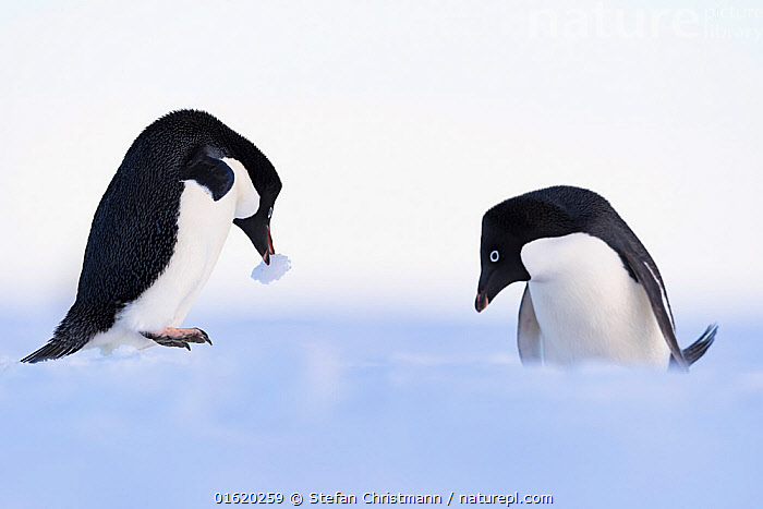 Adelie penguin (Pygoscelis adeliae) nesting pair, Atka Bay, Queen Maud Land, Antarctica, December., Animal,Wildlife,Vertebrate,Bird,Birds,Penguin,Adelie penguin,Animalia,Animal,Wildlife,Vertebrate,Aves,Bird,Birds,Sphenisciformes,Penguin,Seabird,Spheniscidae,Pygoscelis,Pygoscelis adeliae,Adelie penguin,Two,Antarctica,Antarctic,Polar,Animal Home,Nest,Nesting,Flightless,catalogue12, Stefan Christmann