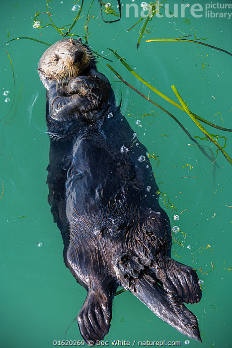 Sea Otter, (Enhydra lutris), young male, Elkhorn Slough, California, USA. January  ,  Animal,Wildlife,Vertebrate,Mammal,Carnivore,Mustelid,Sea otter,Sea Otter,American,Animalia,Animal,Wildlife,Vertebrate,Mammalia,Mammal,Carnivora,Carnivore,Mustelidae,Mustelid,Enhydra,Sea otter,Enhydra lutris,Sea Otter,Swimming,Floating,North America,USA,Western USA,Southwest USA,California,Portrait,Ocean,Pacific Ocean,Marine,Coastal waters,Water,Temperate,Saltwater,Sea,Surface,American,United States of America,Endangered species,threatened,Endangered,,catalogue12  ,  Doc White