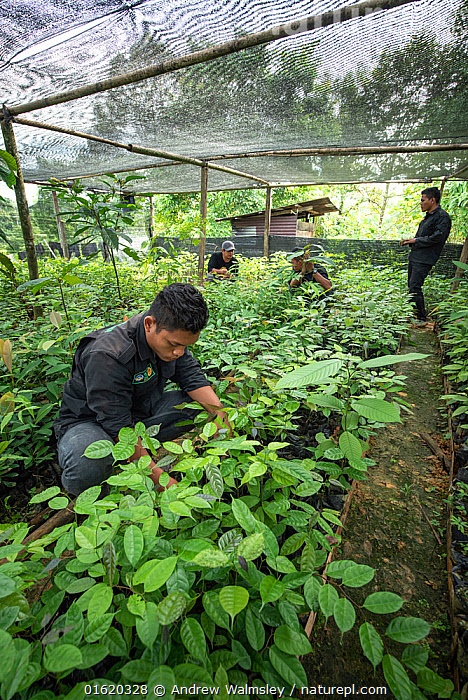 Rainforest plants grown in nursery to restore rainforest habitat to former palm oil plantations. Restoration work carried out by staff from the Orangutan Information Centre, North Sumatra. . September 2018  ,  People,Growth,Asia,South East Asia,Indonesia,Plant,Restoration,Science,Rainforest,Tropical rainforest,Forest,Conservation,Biodiversity hotspot,Sumatra,Rewilding,  ,  Andrew Walmsley