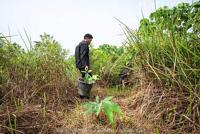 Rainforest restoration work by staff from the Orangutan Information Centre, North Sumatra. Oil palms are cleared from purchased land, often former illegal plantations, then plants grown from seed collected in nearby primary forest are planted in carefully mapped patterns to create new rainforest. September 2018.  ,  People,Asia,South East Asia,Indonesia,Restoration,Science,Rainforest,Tropical rainforest,Forest,Conservation,Biodiversity hotspot,Sumatra,Rewilding,  ,  Andrew Walmsley