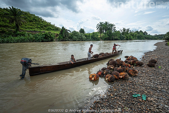 Oil palm fruit transported by boat. North Sumatra, September 2018.  ,  People,Asia,South East Asia,Indonesia,Boat,Flowing Water,River,Environment,Environmental Issues,Environmental Damage,Deforestation,Rainforest,Tropical rainforest,Freshwater,Water,Forest,Conservation,Biodiversity hotspot,Sumatra,Conservation issues,Palm oil,Palm oils,  ,  Andrew Walmsley