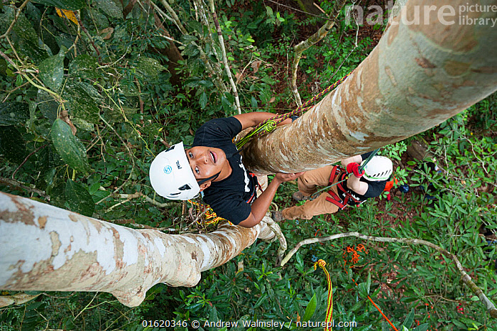 Tree climbing training for Human Orangutan Conflict Response Unit (HOCRU) team members in a forest in North Sumatra, April 2015.  ,  People,Adventure,Happiness,Educational Event,Training Class,Course,Courses,Training,Training Classes,Asia,South East Asia,Indonesia,High Angle View,Plant,Tree,Science,Rainforest,Tropical rainforest,Forest,Conservation,Climbing,Biodiversity hotspot,Sumatra,Elevated view,  ,  Andrew Walmsley
