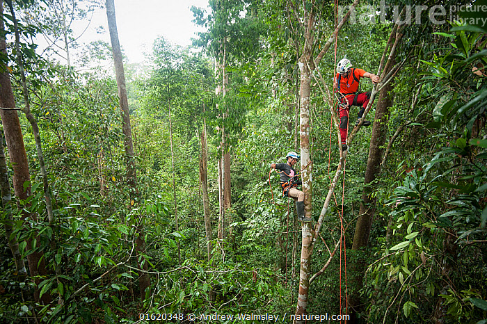 Tree climbing training for Human Orangutan Conflict Response Unit (HOCRU) team members in a forest in North Sumatra, April 2015  ,  People,Adventure,Educational Event,Training Class,Course,Courses,Training,Training Classes,Asia,South East Asia,Indonesia,Plant,Tree,Science,Rainforest,Tropical rainforest,Forest,Conservation,Climbing,Biodiversity hotspot,Sumatra,  ,  Andrew Walmsley