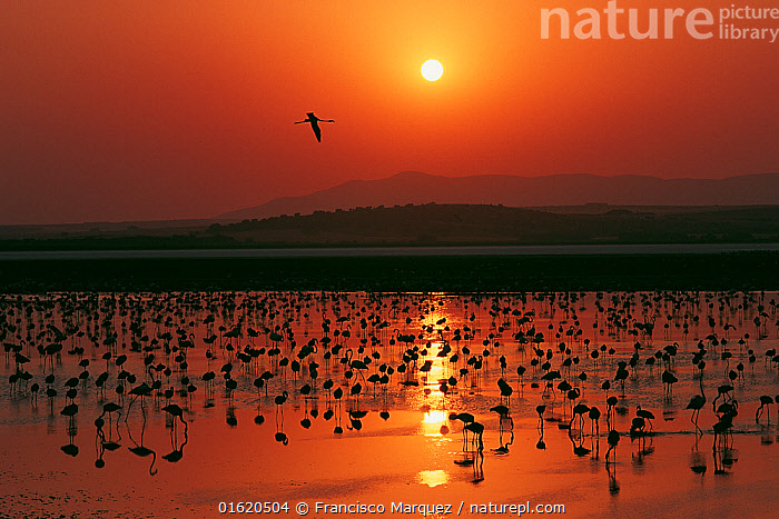 Greater flamingo (Phoenicopterus ruber) flock silhouetted in wetland, Fuente de Piedra lagoon, Malaga, Spain. August., Animal,Wildlife,Vertebrate,Bird,Birds,Flamingo,American flamingo,Animalia,Animal,Wildlife,Vertebrate,Aves,Bird,Birds,Phoenicopteriformes,Flamingo,Phoenicopteridae,Phoenicopterus,Phoenicopterus ruber,American flamingo,Caribbean flamingo,West Indian flamingo,Cuban flamingo,Phoenicopterus ruber ruber,Bird Ringing,Individuality,Distinct,Individual,Colour,Orange,Group Of Animals,Flock,Group,Europe,Southern Europe,Spain,Andalusia,Sunset,Setting Sun,Sunsets,Nature,Nature Reserve,Wetland,Water,The Sun,Dusk,malaga,, Francisco Marquez