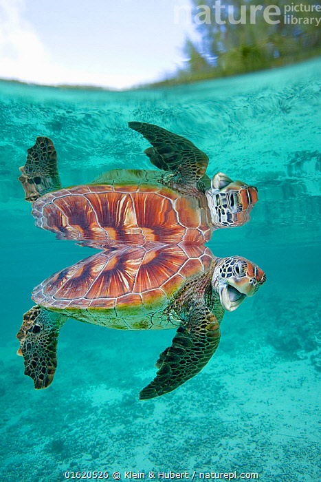 Green sea turtle (Chelonia mydas) swimming, French Polynesia. South Pacific., Animal,Wildlife,Vertebrate,Reptile,Testitudine,Sea turtles,Green turtle,Animalia,Animal,Wildlife,Vertebrate,Reptilia,Reptile,Chelonii,Testitudine,Cheloniidae,Sea turtles,Turtle,Chelonia,Chelonia mydas,Green turtle,Testudo mydas,Testudo cepediana,Chelonia lachrymata,Oceania,French Polynesia,Tropical,Reflection,Ocean,Pacific Ocean,Marine,Underwater,Water,Saltwater,Phenomenon,Snell&#39,s window,Optical man-hole,Endangered species,threatened,Endangered, Klein & Hubert