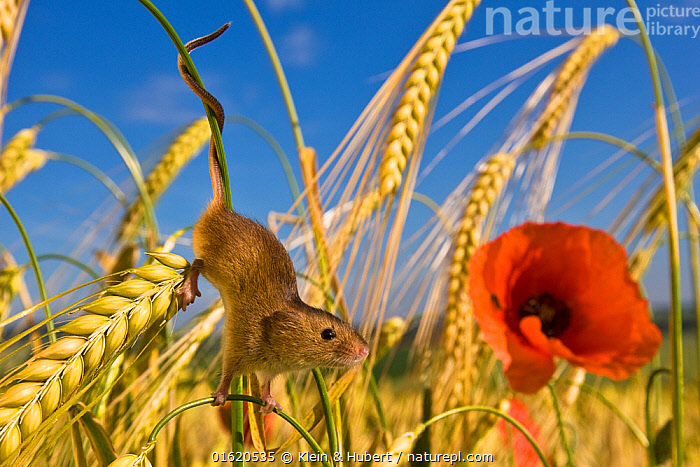 Harvest mouse (Micromys minutus) in wheat field with poppy (Papaver rhoeas) in summer - prehensile tail. France. June.  ,  Angiosperm,Angiospermae,Animal,Animalia,Colour,Common poppy,Corn poppy,Crops,Cultivated,Dicot,Dicotyledon,Eurasian Harvest Mouse,Europe,Field poppy,Flower,Flowering plant,France,Fumariaceae,Harvest Mouse,Magnoliopsida,Mammal,Mammalia,Micromys,Micromys minutus,Mouse,Muridae,Papaver,Papaver rhoeas,Papaveraceae,Plant,plant plant,Plantae,Poppy,Prehensile tail,Produce,Ranunculales,Ranunculanae,Red,Red poppy,Rodent,Rodentia,Spermatophyte,Spermatophytina,Stylomecon,Summer,Tail,Tracheophyta,Vascular plant,Vertebrate,Western Europe,Wildlife  ,  Klein & Hubert