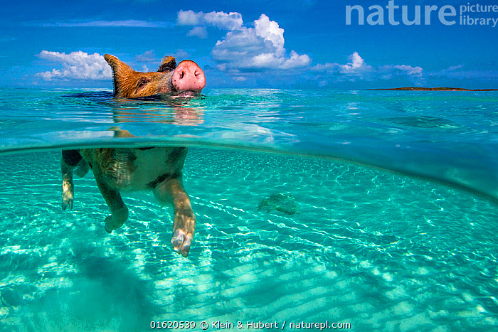 Piglet swimming in turquoise sea. Bahamas., Enjoyment,The Caribbean,Caribbean,West Indies,Animal,Young Animal,Baby,Baby Mammal,Piglet,Piglets,Ocean,Caribbean Sea,Livestock,Coast,Marine,Split level,Coastal,Water,Domestic animal,Saltwater,Domestic Pig,Domesticated,Biodiversity hotspots,Sus scrofa domestica,Mammal,, Klein & Hubert