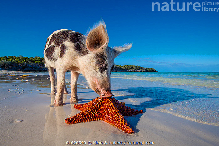 Piglet discovering a starfish on an island beach, Bahamas.  ,  The Caribbean,Caribbean,West Indies,Animal,Young Animal,Baby,Baby Mammal,Piglet,Piglets,Ocean,Caribbean Sea,Livestock,Coast,Marine,Coastal,Water,Domestic animal,Saltwater,Domestic Pig,Domesticated,Biodiversity hotspots,Sus scrofa domestica,Mammal,  ,  Klein & Hubert