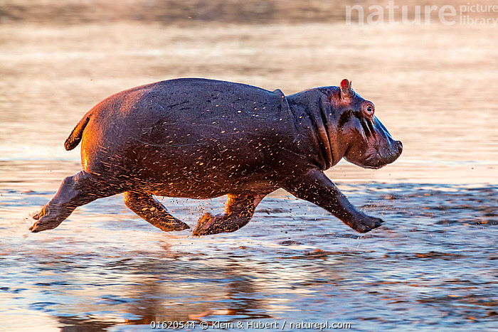Young Hippo (Hippopotamus amphibius) trotting to the Luangwa River at sunrise, Luangwa National Park, Zambia., Animal,Wildlife,Vertebrate,Mammal,Hippopotomus,Hippotomuses,Animalia,Animal,Wildlife,Vertebrate,Mammalia,Mammal,Artiodactyla,Even-toed ungulates,Hippotamidae,Hippopotomus,Hippo,Hippopotamus,Hippotomuses,Hippotomi,Hippos,Hippopotamus amphibius,Walking,Trotting,Africa,Zambia,Southern Africa,Profile,Side View,Young Animal,Flowing Water,River,Freshwater,Water,Reserve,Protected area,National Park,Moving,Movement,, Klein & Hubert