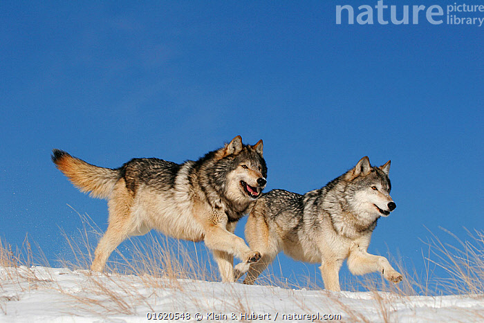 Grey wolf (Canis lupus) two running in the snow, USA. Controlled conditions.  ,  Animal,Wildlife,Vertebrate,Mammal,Carnivore,Canid,Grey Wolf,American,Animalia,Animal,Wildlife,Vertebrate,Mammalia,Mammal,Carnivora,Carnivore,Canidae,Canid,Canis,Canis lupus,Grey Wolf,Common Wolf,Wolf,Running,Two,North America,USA,Snow,Moving,American,United States of America,Movement,  ,  Klein & Hubert