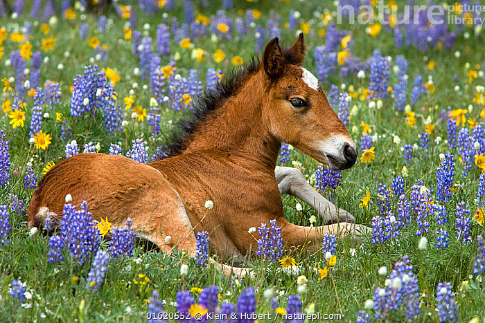 Wild mustangs, bay foal lying in wild flowers, Rocky Mountains, USA. June., American,North America,USA,Animal,Young Animal,Baby,Baby Mammal,Foal,Foals,Plant,Flower,Summer,Rocky Mountains,American,United States of America,, Klein & Hubert