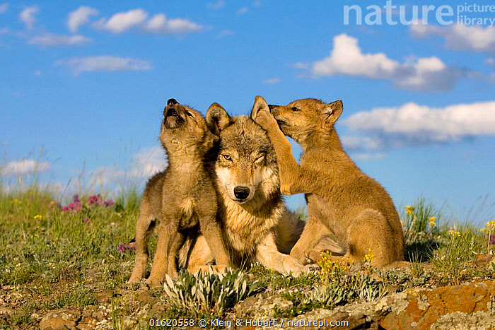 Grey wolf (Canis lupus) female and two cubs, one howling. Controlled conditions  ,  Animal,Wildlife,Vertebrate,Mammal,Carnivore,Canid,Grey Wolf,Animalia,Animal,Wildlife,Vertebrate,Mammalia,Mammal,Carnivora,Carnivore,Canidae,Canid,Canis,Canis lupus,Grey Wolf,Common Wolf,Wolf,Vocalisation,Calling,Howling,Howl,Cute,Adorable,Young Animal,Baby,Baby Mammal,Puppy,Pup,Pups,Animal Behaviour,Family,Mother baby,Behaviour,Mother,Parent baby,Behavioural,  ,  Klein & Hubert