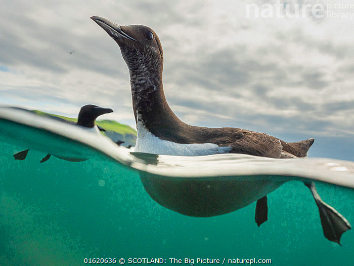 Guillemot (Uria aalge) swimming, split level view, Shiant Isles, Outer Hebrides, Scotland, UK. June, 2018., Swimming,Europe,Western Europe,UK,Great Britain,Scotland,Outer Hebrides,Split level,Water,Hebrides,Scottish islands,Scottish isles,SCOTLAND: The Big Picture,Aidan MacCormick,,catalogue12, SCOTLAND: The Big Picture