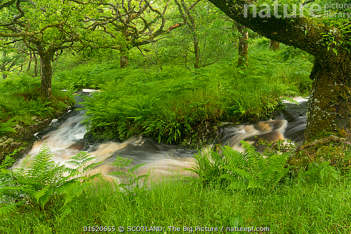 Stream in spate in native oak woodland in summer, Clonaig, Kintyre, Argyll, Scotland, UK, July 2015.  ,  Europe,Western Europe,UK,Great Britain,Scotland,Plant,Tree,Flowing Water,Stream,Streams,Summer,Woodland,Freshwater,Water,Forest,SCOTLAND: The Big Picture,Argyll,Aidan MacCormick,,catalogue12  ,  SCOTLAND: The Big Picture