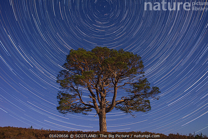 Lone Scot's pine tree (Pinus sylvestris) and star trails with the north star, Abernethy forest, Cairngorms National Park, Scotland, UK., Europe,Western Europe,UK,Great Britain,Scotland,Highland,Outer Space,The Universe,Star Trail,Stars,Reserve,Protected area,Highlands of Scotland,National Park,Cairngorms,Cairngorms National Park,SCOTLAND: The Big Picture,Aidan MacCormick,, SCOTLAND: The Big Picture