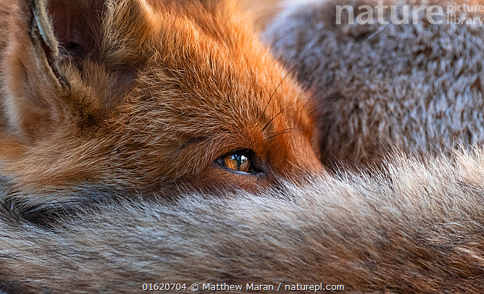 Red fox (Vulpes Vulpes) resting curled up close up, North London, England UK  ,  Animal,Wildlife,Vertebrate,Mammal,Carnivore,Canid,True fox,Red fox,Animalia,Animal,Wildlife,Vertebrate,Mammalia,Mammal,Carnivora,Carnivore,Canidae,Canid,Vulpes,True fox,Vulpini,Caninae,Vulpes vulpes,Red fox,Resting,Rest,Sleeping,Tiredness,Europe,Western Europe,UK,Great Britain,England,London,Greater London,Nature,,catalogue12  ,  Matthew Maran