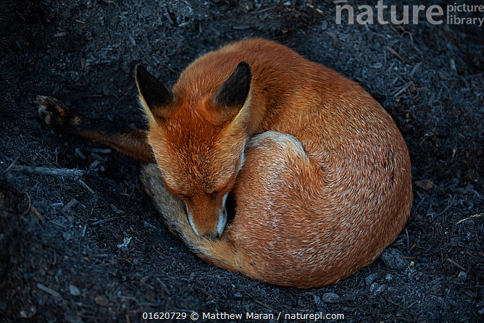 Red Fox (Vulpes Vulpes) a vixen which has dug into a compost pile to reach the warm centre before curling up and sleeping. North London, England, UK, August.  ,  Animal,Wildlife,Vertebrate,Mammal,Carnivore,Canid,True fox,Red fox,Animalia,Animal,Wildlife,Vertebrate,Mammalia,Mammal,Carnivora,Carnivore,Canidae,Canid,Vulpes,True fox,Vulpini,Caninae,Vulpes vulpes,Red fox,Temperature,Warm,Warming,Warmth,Europe,Western Europe,UK,Great Britain,England,London,Greater London,Female animal,Vixen,Vixens,Nature,  ,  Matthew Maran