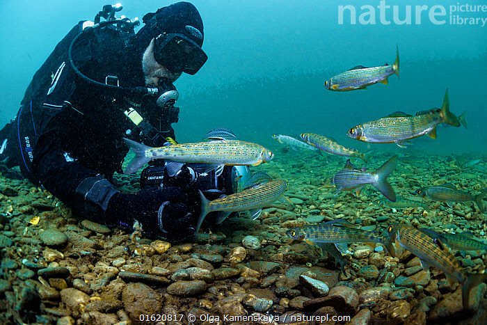Diver with Grayling (Thymallus thymallus) in the upper reaches of the Lena River. Baikalo-Lensky Reserve, Siberia, Russia. August 2018.  ,  Animal,Wildlife,Vertebrate,Ray-finned fish,Percomorphi,Salmonid,European grayling,Animalia,Animal,Wildlife,Vertebrate,Actinopterygii,Ray-finned fish,Osteichthyes,Bony fish,Fish,Perciformes,Percomorphi,Acanthopteri,Salmonidae,Salmonid,European grayling,Grayling,Salmo thymallus,Thymallus decorus,Thymallus vexillifer,Diving,Underwater Diving,People,Group Of Animals,School,Group,Russia,Siberia,Flowing Water,River,Freshwater,Underwater,Water,Siberian Federal District,North Asia,Asian Russia,  ,  Olga Kamenskaya