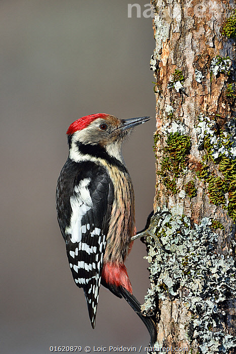 Middle spotted woodpecker (Dendrocopos medius) on a tree trunk,  Leon, Spain, February.  ,  Animal,Wildlife,Vertebrate,Bird,Birds,Woodpecker,Middle spotted woodpecker,Animalia,Animal,Wildlife,Vertebrate,Aves,Bird,Birds,Piciformes,Picidae,Dendrocopos,Woodpecker,Picinae,Dendrocopos medius,Middle spotted woodpecker,Europe,Southern Europe,Spain,Castile and Leon,Profile,Side View,  ,  Loic Poidevin