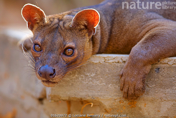 Fossa (Cryptoprocta ferox) resting, Kirindy Forest Private Reserve, Madagascar,Vulnerable, endemic., Animal,Wildlife,Vertebrate,Mammal,Carnivore,Fossa,Animalia,Animal,Wildlife,Vertebrate,Mammalia,Mammal,Carnivora,Carnivore,Eupleridae,Cryptoprocta,Fossa,Cryptoprocta ferox,Cryptoprocta typicus,Africa,Madagascar,Malagasy Republic,Republic of Madagascar,Headshot,Headshots,Portrait,Reserve,Biodiversity hotspots,Biodiversity hotspot,Endemic,Protected area,Direct Gaze,Private Reserve,Kirindy Forest,Endangered species,threatened,Vulnerable,catalogue12, Lorraine Bennery