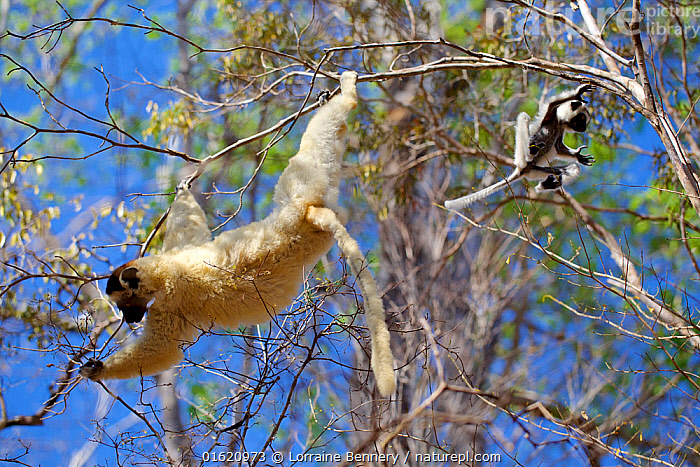 Verreaux's sifaka lemur (Propithecus verreauxi), mother climbing and baby jumping Kirindy Forest Private Reserve, Madagascar, Endangered, endemic., Animal,Wildlife,Vertebrate,Mammal,Sifaka,Verreaux&#39,s sifaka,Animalia,Animal,Wildlife,Vertebrate,Mammalia,Mammal,Primate,Primates,Indriidae,Prosimians,Propithecus,Sifaka,Propithecus verreauxi,Verreaux&#39,s sifaka,Propithecus majori,Propithecus verreauxoides,Jumping,Africa,Madagascar,Malagasy Republic,Republic of Madagascar,Young Animal,Baby,Female animal,Plant,Tree,Reserve,Forest,Family,Mother baby,Mother,Climbing,Biodiversity hotspots,Biodiversity hotspot,Endemic,Protected area,Parent baby,Moving,Private Reserve,Kirindy Forest,Movement,Endangered species,threatened,Vulnerable, Lorraine Bennery