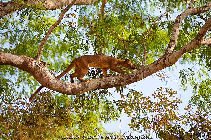Fossa (Cryptoprocta ferox) climbing tree , Kirindy Forest Private Reserve, Madagascar, Vulnerable, endemic., Animal,Wildlife,Vertebrate,Mammal,Carnivore,Fossa,Animalia,Animal,Wildlife,Vertebrate,Mammalia,Mammal,Carnivora,Carnivore,Eupleridae,Cryptoprocta,Fossa,Cryptoprocta ferox,Cryptoprocta typicus,Walking,Africa,Madagascar,Malagasy Republic,Republic of Madagascar,Habitat,Reserve,Climbing,Biodiversity hotspots,Biodiversity hotspot,Endemic,Protected area,Moving,Private Reserve,Kirindy Forest,Movement,Endangered species,threatened,Vulnerable, Lorraine Bennery