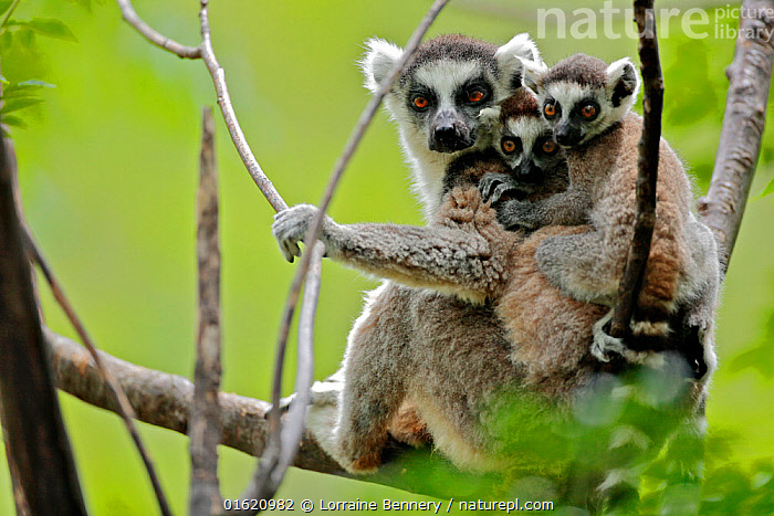Ring-tailed lemur (Lemur catta), mother with two young babies. Anja Community Reserve, Madagascar, Endangered, endemic., Animal,Wildlife,Vertebrate,Mammal,Lemur,Ring-tailed lemur,Animalia,Animal,Wildlife,Vertebrate,Mammalia,Mammal,Primate,Primates,Lemuridae,Lemur,Prosimians,Lemur catta,Ring-tailed lemur,Maki mococo,Cute,Adorable,Africa,Madagascar,Malagasy Republic,Republic of Madagascar,Young Animal,Baby,Female animal,Reserve,Family,Mother baby,Mother,Biodiversity hotspots,Biodiversity hotspot,Endemic,Protected area,Parent baby,Anja Private Reserve,, Lorraine Bennery