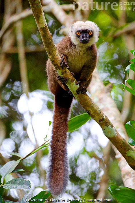 White-fronted brown lemur (Eulemur albifrons) in tree, Rainforests of the Atsinanana, Marojejy National Park, Madagascar. Endangered species, endemic., Animal,Wildlife,Vertebrate,Mammal,Lemur,True lemurs,White-fronted Brown Lemur,Animalia,Animal,Wildlife,Vertebrate,Mammalia,Mammal,Primate,Primates,Lemuridae,Lemur,Prosimians,Eulemur,True lemurs,brown lemurs,Eulemur albifrons,White-fronted Brown Lemur,White-fronted Lemur,Eulemur frederici,Africa,Madagascar,Malagasy Republic,Republic of Madagascar,Tail,Rainforest,Reserve,Forest,Biodiversity hotspots,Biodiversity hotspot,Endemic,Protected area,National Park,Endangered species,threatened,Vulnerable, Lorraine Bennery