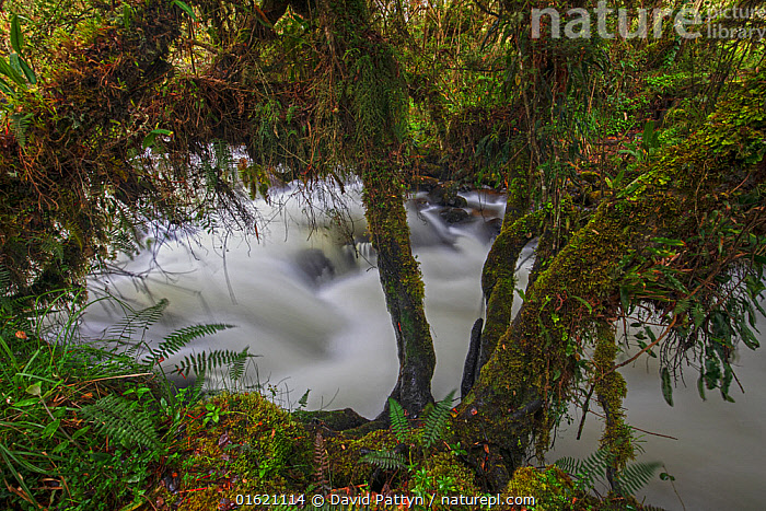 Papallacta river flowing through its cloud forest landscape with fern covered trees, Papallacta, Tropical Andes, Ecuador, July  ,  Latin America,South America,Ecuador,Photographic Effect,Long Exposure,Flowing Water,River,Rainforest,Tropical rainforest,Freshwater,Water,Andes,Forest,  ,  David  Pattyn