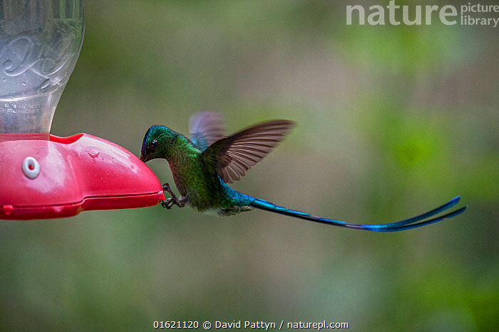 Long-tailed sylph hummingbird (Aglaiocercus kingii) feeding from bird feeder, Mindo, Pichincha, Ecuador , July  ,  Latin America,South America,Ecuador,Animal,Bird Feeder,Bird Feeders,Rainforest,Tropical rainforest,Feeding,Forest,Feeders,  ,  David  Pattyn