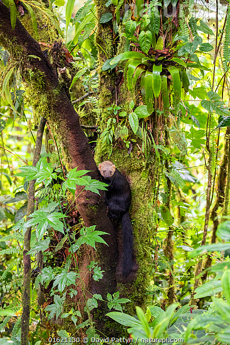 Tayra (Eira barbara) climbing in a tree in rainforest habitat with fern covered trees, Bellavista private reserve, Mindo cloud forest area, Ecuador, July  ,  Animal,Wildlife,Vertebrate,Mammal,Carnivore,Mustelid,Tayra,Greyheaded Tayra,Animalia,Animal,Wildlife,Vertebrate,Mammalia,Mammal,Carnivora,Carnivore,Mustelidae,Mustelid,Eira,Tayra,Eira barbara,Greyheaded Tayra,Tolomuco,Perico ligero,San Hol,Viejo de monte,Latin America,South America,Ecuador,Plant,Fern,Tree,Rainforest,Tropical rainforest,Reserve,Forest,Climbing,Protected area,,,catalogue12  ,  David  Pattyn