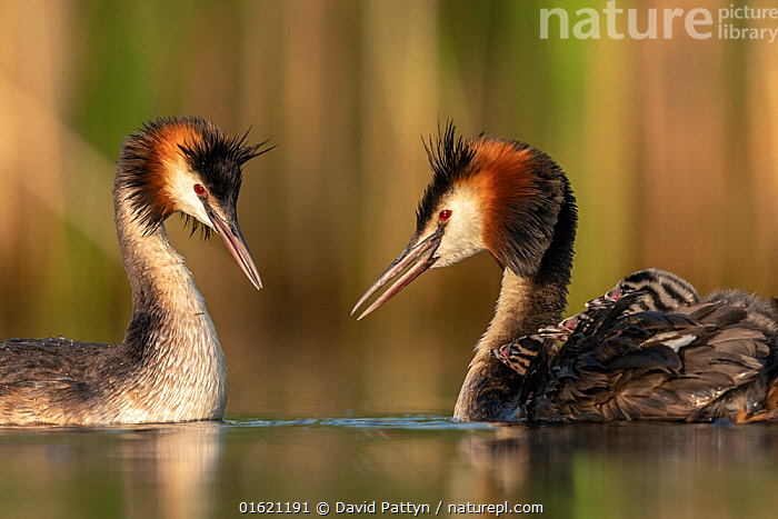 Great crested grebe (Podiceps cristatus) adults courting and greeting each other to confirm their bond. Even with the young chicks already out they often show courtship behavior to each other, Valkenhorst Nature Reserve, Valkenswaard, The Netherlands, June, Animal,Wildlife,Vertebrate,Bird,Birds,Grebe,Great crested grebe,Wildfowl,Water fowl,Animalia,Animal,Wildlife,Vertebrate,Aves,Bird,Birds,Podicipediformes,Podicipedidae,Grebe,Podiceps,Podiceps cristatus,Great crested grebe,Greeting,Courting,Europe,Western Europe,The Netherlands,Holland,Netherlands,Young Animal,Baby,Chick,Freshwater,Water,Animal Behaviour,Reproduction,Mating Behaviour,Courtship,Reserve,Behaviour,Protected area,Waterfowl,Wildfowl,Water fowl,Behavioural,, David  Pattyn