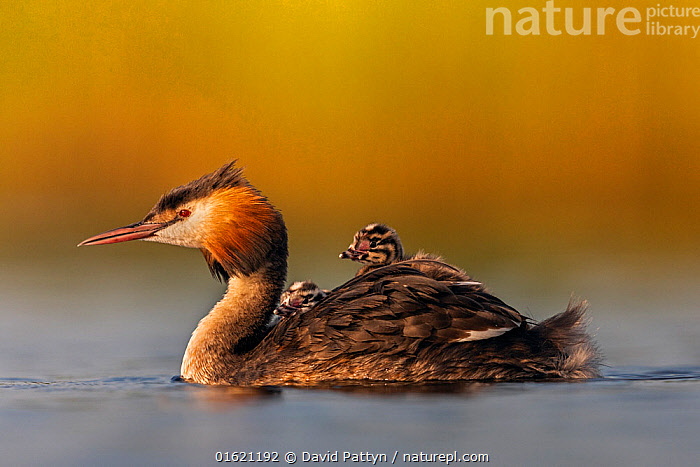 Great crested grebe (Podiceps cristatus) adult with young on its back, Valkenhorst Nature Reserve, Valkenswaard, The Netherlands, June  ,  Animal,Wildlife,Vertebrate,Bird,Birds,Grebe,Great crested grebe,Wildfowl,Water fowl,Animalia,Animal,Wildlife,Vertebrate,Aves,Bird,Birds,Podicipediformes,Podicipedidae,Grebe,Podiceps,Podiceps cristatus,Great crested grebe,Europe,Western Europe,The Netherlands,Holland,Netherlands,Profile,Side View,Young Animal,Baby,Chick,Freshwater,Water,Reserve,Protected area,Waterfowl,Wildfowl,Water fowl,,,catalogue12  ,  David  Pattyn