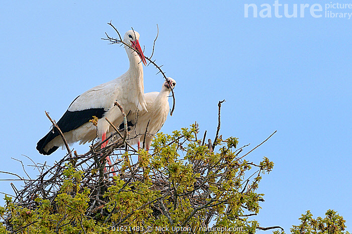 White stork (Ciconia ciconia) pair arranging nest material on their nest in an Oak tree, Knepp estate, Sussex, UK, April 2019. This is the first recorded instance of White storks nesting in the UK for several hundreds of years.  ,  Animal,Wildlife,Vertebrate,Bird,Birds,Stork,White stork,Animalia,Animal,Wildlife,Vertebrate,Aves,Bird,Birds,Ciconiiformes,Ciconiidae,Stork,Ciconia,Ciconia ciconia,White stork,European white stork,Two,Europe,Western Europe,UK,Great Britain,England,Animal Home,Nest,Restoration,Animal Behaviour,Nesting behaviour,Nest building,Conservation,Male female pair,Behaviour,Rewilding,Sussex,Behavioural,Returned,Returning,  ,  Nick Upton