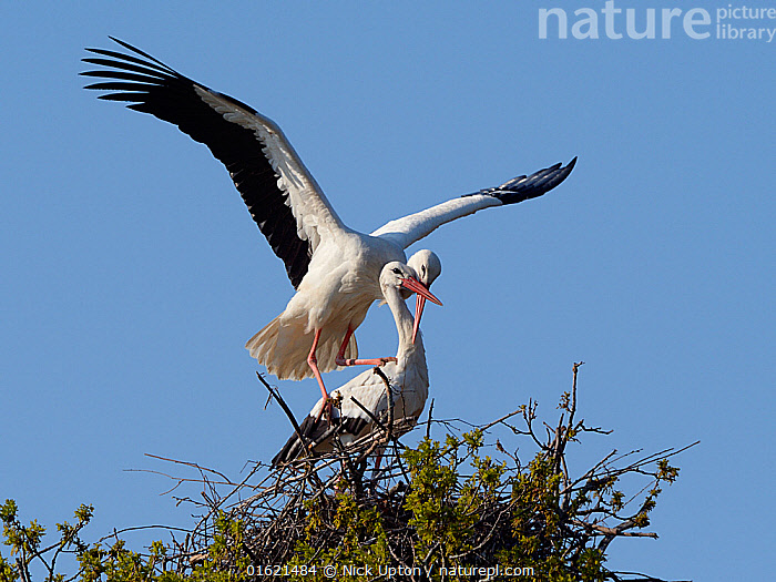 White stork (Ciconia ciconia) pair mating on their nest, Knepp estate, Sussex, UK, April 2019. This is the first recorded instance of White storks nesting in the UK for several hundreds of years., Animal,Wildlife,Vertebrate,Bird,Birds,Stork,White stork,Animalia,Animal,Wildlife,Vertebrate,Aves,Bird,Birds,Ciconiiformes,Ciconiidae,Stork,Ciconia,Ciconia ciconia,White stork,European white stork,Two,Europe,Western Europe,UK,Great Britain,England,Animal Home,Nest,Restoration,Animal Behaviour,Reproduction,Mating Behaviour,Copulation,Conservation,Male female pair,Behaviour,Rewilding,Sussex,Behavioural,Returned,Returning,, Nick Upton