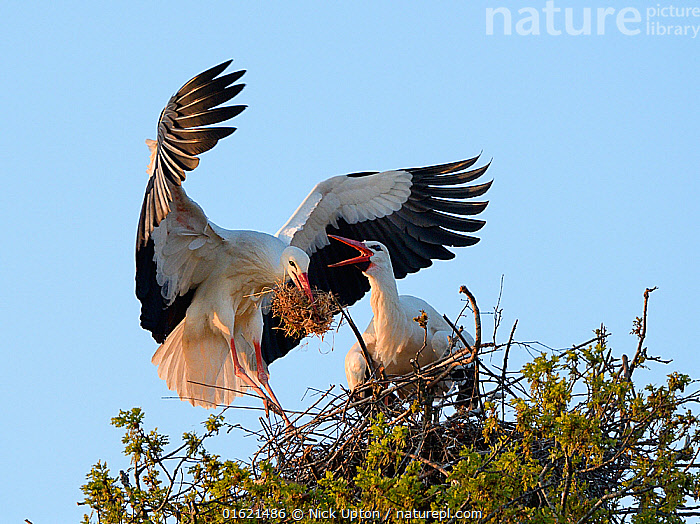 White stork (Ciconia ciconia) male landing with nest material as his mate bill clatters on their nest in an Oak tree, Knepp estate, Sussex, UK, April 2019. This is the first recorded instance of White storks nesting in the UK for several hundreds of years., Animal,Wildlife,Vertebrate,Bird,Birds,Stork,White stork,Animalia,Animal,Wildlife,Vertebrate,Aves,Bird,Birds,Ciconiiformes,Ciconiidae,Stork,Ciconia,Ciconia ciconia,White stork,European white stork,Courting,Two,Europe,Western Europe,UK,Great Britain,England,Animal Home,Nest,Restoration,Animal Behaviour,Reproduction,Mating Behaviour,Courtship,Conservation,Male female pair,Behaviour,Rewilding,Sussex,Behavioural,Returned,Returning,, Nick Upton