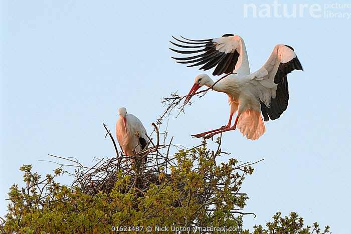 White stork (Ciconia ciconia) male landing with nest material and joining his mate on their nest in an Oak tree at sunset, Knepp estate, Sussex, UK, April 2019. This is the first recorded instance of White storks nesting in the UK for several hundreds of years.  ,  Animal,Wildlife,Vertebrate,Bird,Birds,Stork,White stork,Animalia,Animal,Wildlife,Vertebrate,Aves,Bird,Birds,Ciconiiformes,Ciconiidae,Stork,Ciconia,Ciconia ciconia,White stork,European white stork,Two,Europe,Western Europe,UK,Great Britain,England,Animal Home,Nest,Restoration,Animal Behaviour,Nesting behaviour,Nest building,Conservation,Male female pair,Behaviour,Rewilding,Sussex,Behavioural,Returned,Returning,,catalogue12  ,  Nick Upton