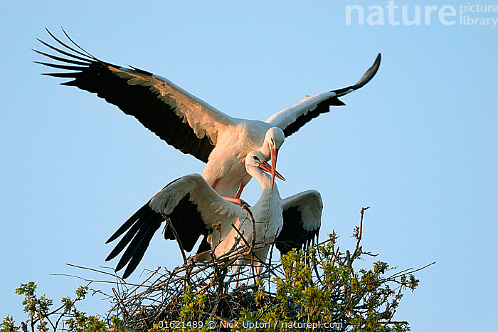 White stork (Ciconia ciconia) pair mating on their nest at sunset, Knepp estate, Sussex, UK, April 2019. This is the first recorded instance of White storks nesting in the UK for several hundreds of years.  ,  Animal,Wildlife,Vertebrate,Bird,Birds,Stork,White stork,Animalia,Animal,Wildlife,Vertebrate,Aves,Bird,Birds,Ciconiiformes,Ciconiidae,Stork,Ciconia,Ciconia ciconia,White stork,European white stork,Two,Europe,Western Europe,UK,Great Britain,England,Animal Home,Nest,Restoration,Animal Behaviour,Reproduction,Mating Behaviour,Copulation,Conservation,Male female pair,Behaviour,Rewilding,Sussex,Behavioural,Returned,Returning,,catalogue12  ,  Nick Upton