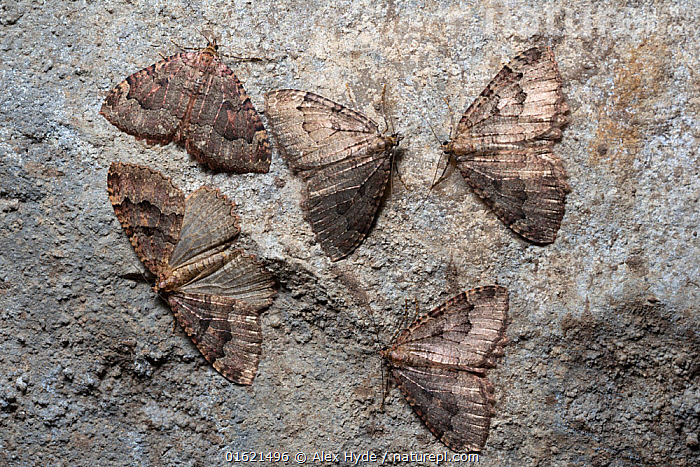 Group of Tissue moths (Triphosa dubitata) hibernating in a limestone cave. Peak District National Park, Derbyshire, UK. November.  ,  Animal,Wildlife,Arthropod,Insect,Tissue,Animalia,Animal,Wildlife,Hexapoda,Arthropod,Invertebrate,Hexapod,Arthropoda,Insecta,Insect,Lepidoptera,Lepidopterans,Geometridae,Geometer,Geometrid,Moth,Looper,Triphosa,Triphosa dubitata,Tissue,The tissue,Phalaena dubitata,Camouflage,Group,Medium Group,Wing,Cave,Animal Behaviour,Hibernating,Behaviour,Hibernation,Behavioural,,,catalogue12  ,  Alex  Hyde