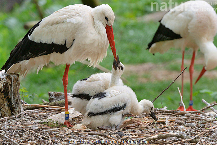 White stork (Ciconia ciconia) chick begging from a parent on its nest. In captive breeding colony raising young birds for UK White Stork reintroduction project at the Knepp Estate. Cotswold Wildlife Park, Oxfordshire, UK, May 2019. Property released., Animal,Wildlife,Vertebrate,Bird,Birds,Stork,White stork,Animalia,Animal,Wildlife,Vertebrate,Aves,Bird,Birds,Ciconiiformes,Ciconiidae,Stork,Ciconia,Ciconia ciconia,White stork,European white stork,Europe,Western Europe,UK,Great Britain,England,Young Animal,Baby,Chick,Animal Home,Nest,Restoration,Conservation,Family,Captive breeding,Species recovery programs,Rewilding,Sussex,Wildlife conservation,Reintroduction,Reintroduced,Parent baby,, Nick Upton